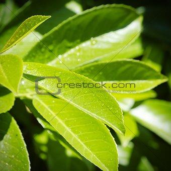 Green Wet Leaf