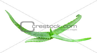 Branch of aloe