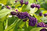 American beautyberry (Callicarpa americana)