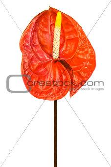 Beautiful red anthurium