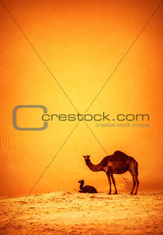 Family of wild camels