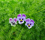 Three flowers pansy
