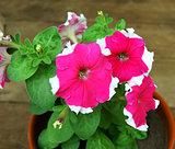 Petunia in pot