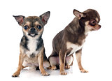 two chihuahuas