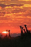 Giraffe - Wildlife Background from Africa - Sunset Gold and Splendor