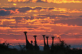 Giraffe - Wildlife Background from Africa - Sunset Golden Peace