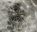 Dandelion tuft closeup
