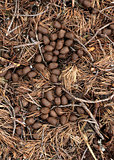 Moose poop in forest litter