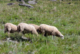 Sheep on beautiful mountain meadow