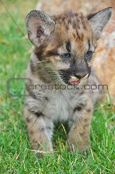 Baby cougar