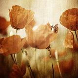 Vinatge poppy flowers field