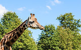 Giraffe Looking Around