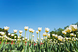 white ornamental tulips on flowerbed on blue sky