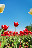 red and white tulips on flower bed on blue sky