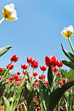red and white ornamental tulips on flowerbed