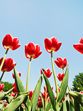 several red tulips on blue sky background