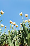 ornamental white tulips on flower field