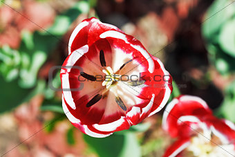 above view of red tulip bloom