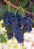 Grape Clusters Vertical Composition Still on Vine Country Vineya