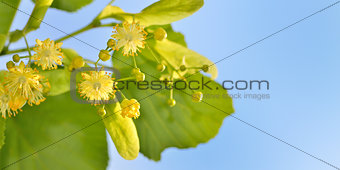 Branch of lime flowers in garden