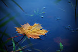 maple leaf on water