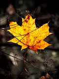 autumn mapple leaf