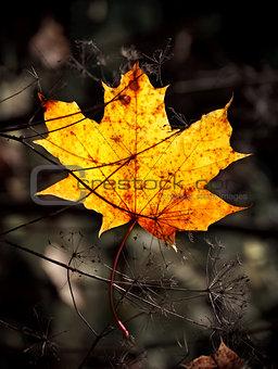 autumn mapple leaf