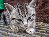 Gray striped kitten