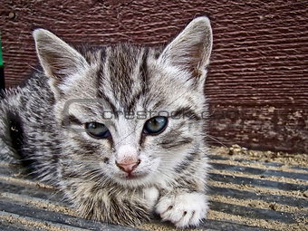Gray striped kitten