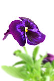 Dark violet pansy flower