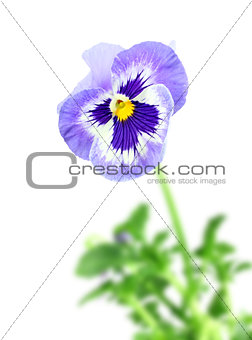 Blue pansy flower