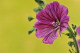 Wild Mallow flower. Malva sylvestris