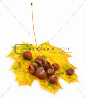 acorns and maple leaf on white