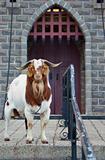 guard goat