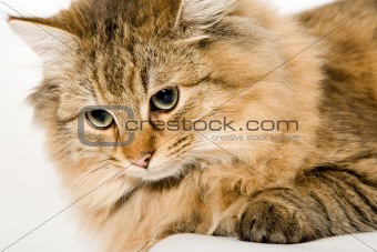 Close Up of a young beautiful cat