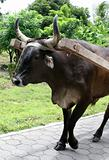 Ox Pulling