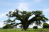 Tree Parasite