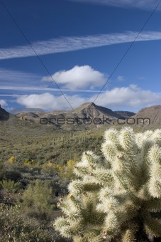 Cholla Cactus in Desert Southwest