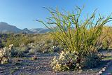 Ocotill Cactus in Desert