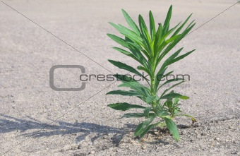 An Undesireable Weed