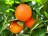 Oranges in a tree.