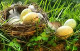 Bird's nest with eggs