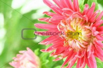 beautiful bright aster flower