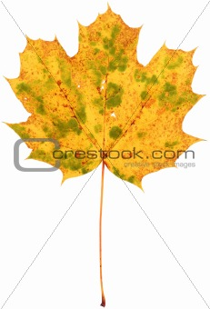 dried spotted maple leaf