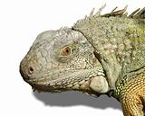 Head of iguana isolated