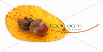 acorns and dry fall leaf