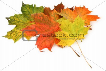 multicolored maple leaves