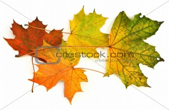 group of maple leaves #2