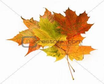 group of maple leaves #3