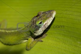 Green Gecko Head